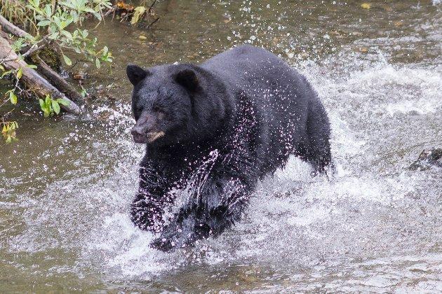 На Алясці ведмідь «вкусив» жінку за попу з вигрібної ями
