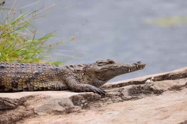У ПАР із ферми втекли крокодили. Тварини зламали паркан і поплили геть річкою