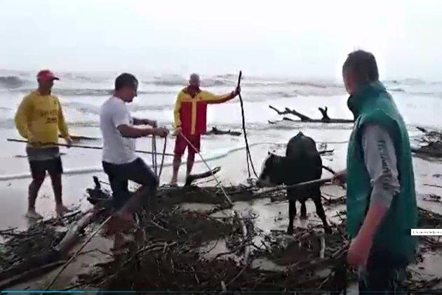 Порятунок рядового теляти. У Австралії триває потужна повінь, рятувальники витягають корів і собак із води