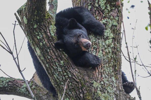 Врятувати рядового ведмедя. У США тварину знімали з дерева посеред міста (відео)