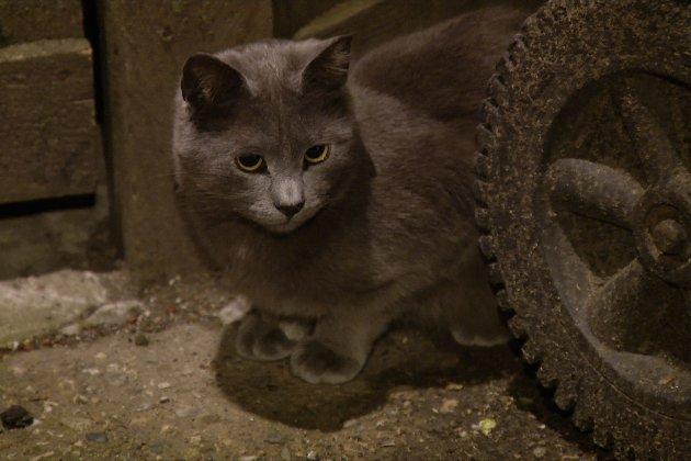 Тисячу диких кішок вже випустили на вулиці Чикаго з 2012 року, щоби боротися зі щурами