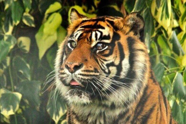У Кембриджі тигриці вперше в історії провели операцію з порятунку ока