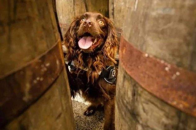 У Шотландії завод Grant's Whisky найняв на роботу собаку-шукача