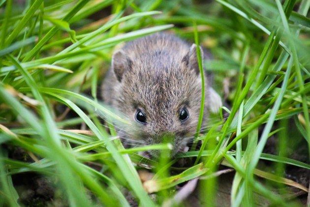 Австралія потерпає від небувалого нашестя мишей-канібалів. Вони вже прориваються в домівки людей
