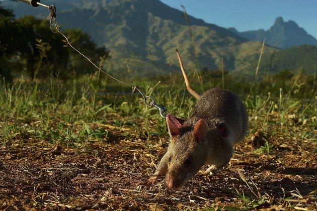 «Пацюк-герой» Магава йде на пенсію після п'яти років пошуку мін у Камбоджі
