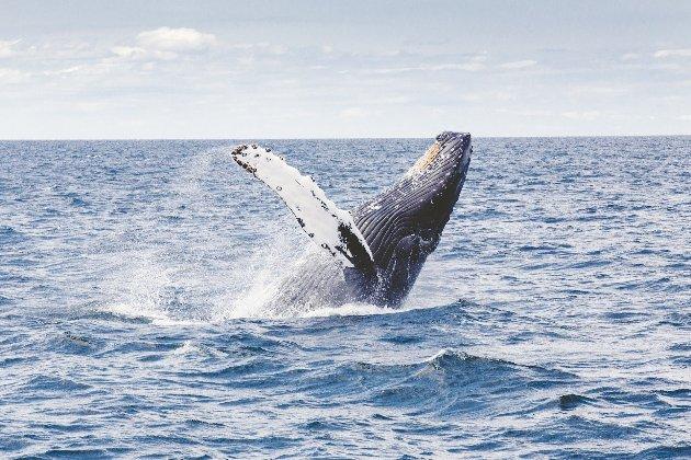 Ловця лобстерів із США проковтнув кит, але тому вдалося вижити