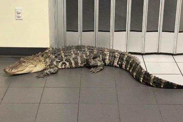 Житель Флориди прийшов на пошту передати посилку, але у вестибюлі зустрів двометрового алігатора