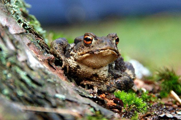 Учені назвали новий вид жаб на честь рок-гурту Led Zeppelin