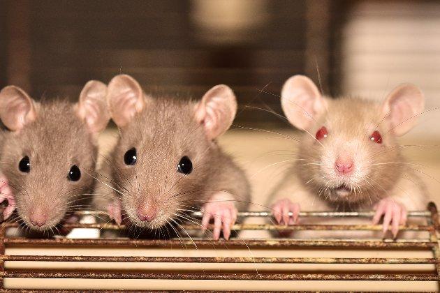 Китайські вчені пересадили самцям пацюків матки та змусили виношувати дітей