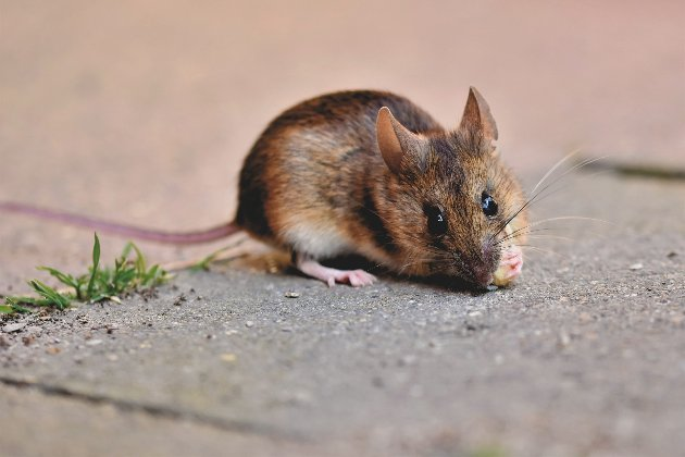 В Австралії через нашестя мишей із тюрми евакуювали ув'язнених та співробітників