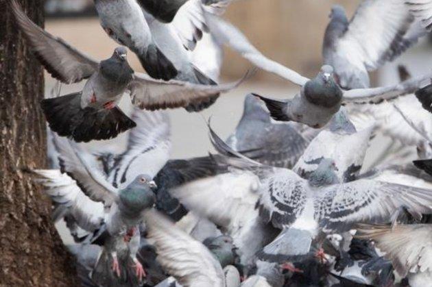 У Великій Британії під час перегонів зникли 10 тис. голубів, ймовірно, на них вплинула магнітна буря