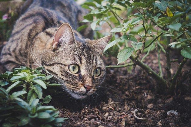 В Австралії влада міста посадила котів під цілодобовий домашній арешт