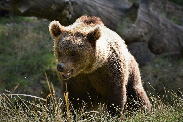 У Сполучених Штатах ведмідь витягнув 65-річну жінку з намету та вбив її