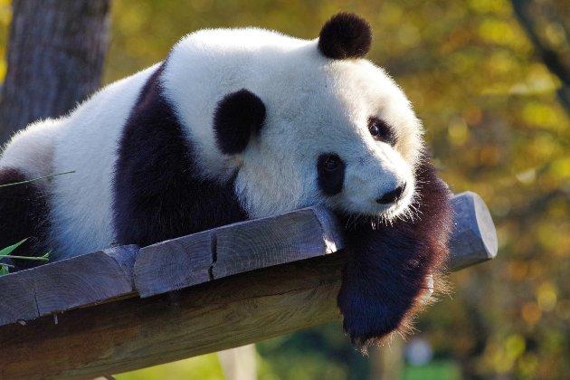 У Китаї заявили, що гігантські панди більше не під загрозою зникнення