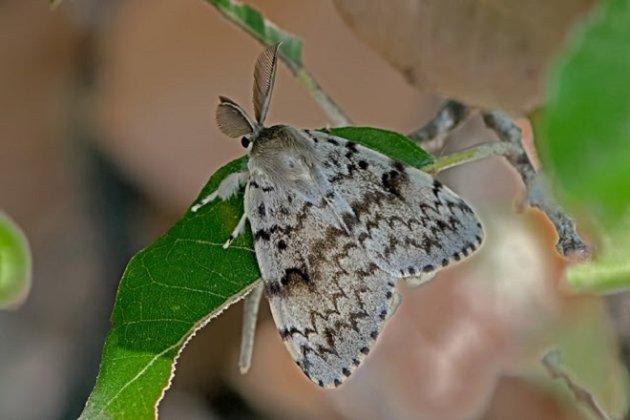 У США перейменують види метеликів та мурах, у назвах яких є слово «циганський»