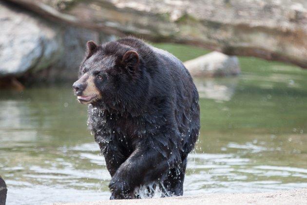 Через спеку в Каліфорнії сім'я ведмедів вийшла покупатися на пляж із людьми