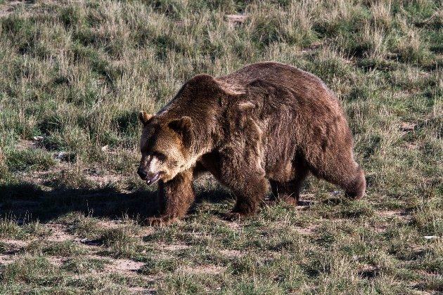 В США спасли мужчину, которого преследовал медведь. Он несколько дней не спал и отстреливался
