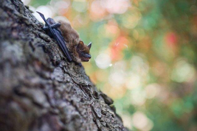 У Росії від кігтів кота загинув кажан, який пролетів рекордні 2 тис. км