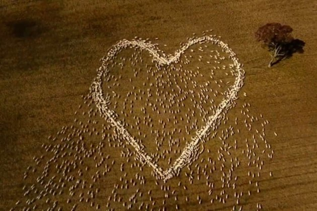 Австралийский фермер создал огромное сердце из живых овец в память о своей умершей тете (видео)