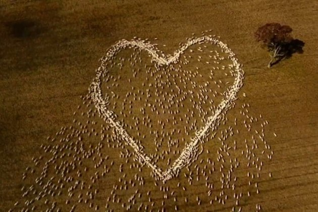 Австралійський фермер створив величезне серце з живих овець в пам'ять про свою померлу тітку (відео)