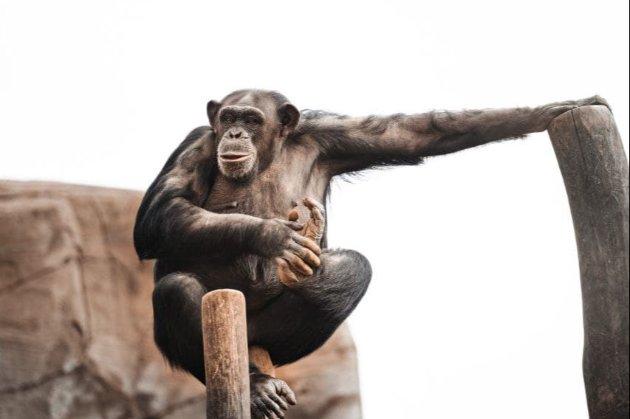 Бельгійський зоопарк заборонив відвідування жінці, яка заявила про «роман» із шимпанзе