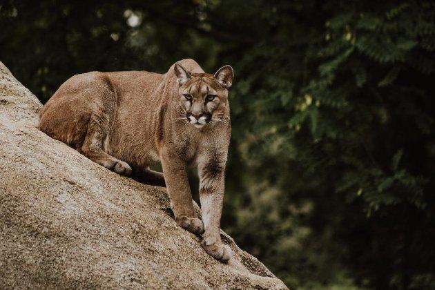 В США женщина вырвала из пасти горного льва своего пятилетнего сына