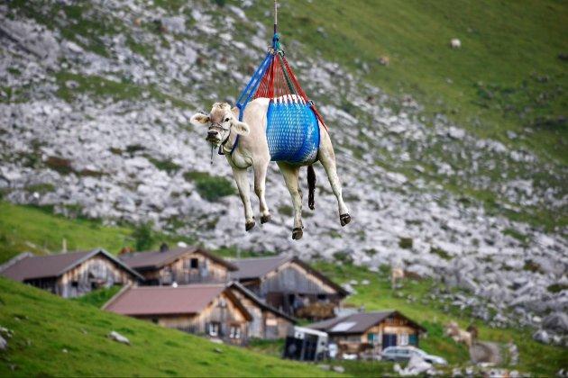 У Швейцарії влаштували незвичний повітряний транспорт для альпійських корів (відео)