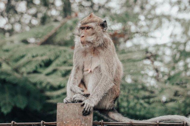 На Балі голодні мавпи залазять у будинки в пошуках їжі. До пандемії їх годували туристи