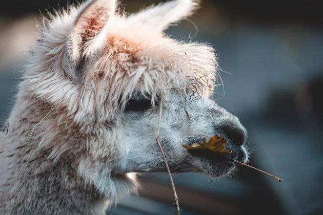 Перспективно и дешево. В Великобритании испытывают лекарства против коронавируса из крови ламы