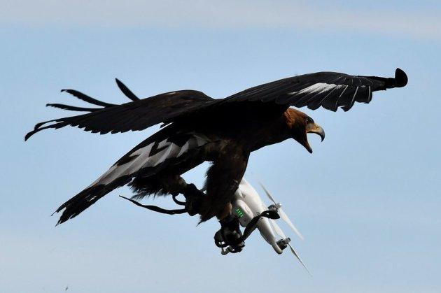 Компанія Wing в Австралії не може здійснювати доставку дронами через атаку птахів