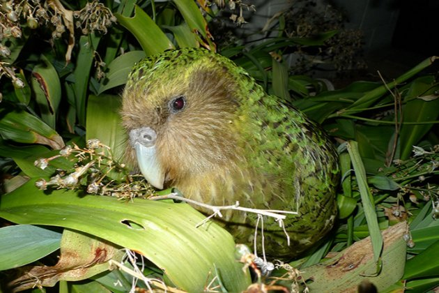 У Новій Зеландії птахом року став найбільший та найважчий папуга у світі