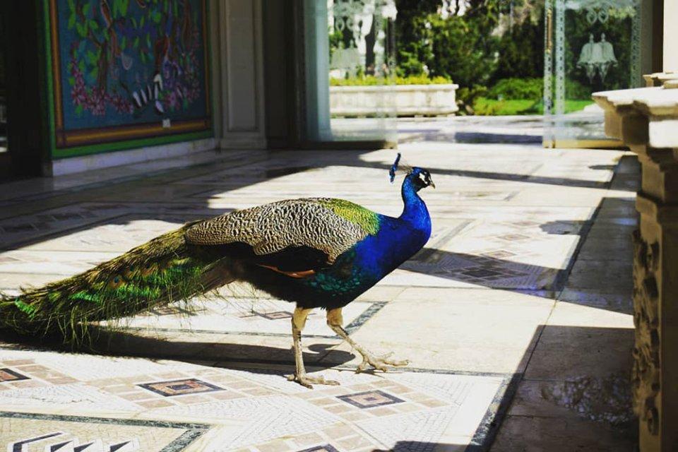 Павич на території резиденції Чаушеску / Facebook / Palatul Primaverii