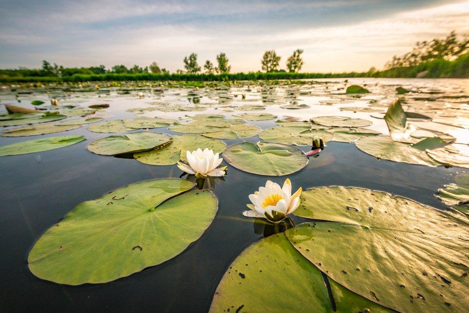 У низов'ї Дністра розташована найбільша в Європі плантація водяних лілій / Getty Images