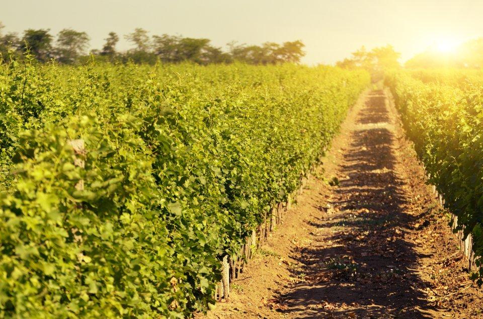 Виноградник у Бесарабії / Getty Images