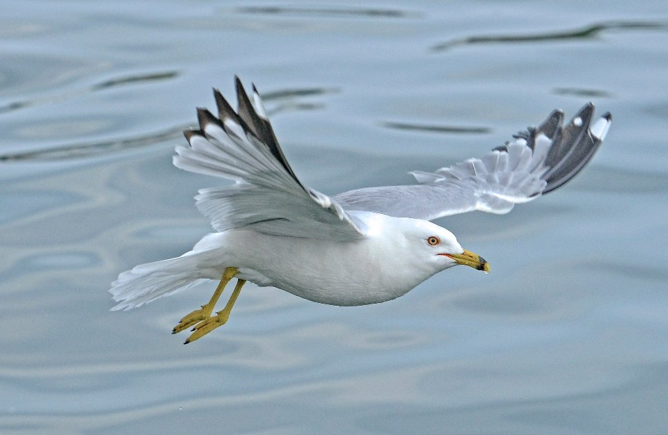 Чайка делаверська
