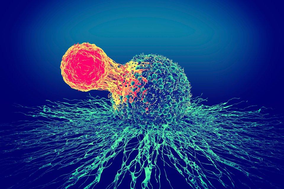 Т-клітина знищує клітину, уражену вірусом