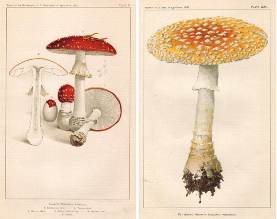 Ілюстрації Amanita muscariaв каталогах міністерства сільського господарства 1892 та 1897 років. Зліва — правильний варіант, справа — помилковий