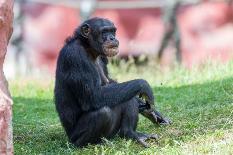 Науковці AstraZeneca запропонували для створення новітніх вакцин використовувати віруси шимпанзе / Getty images