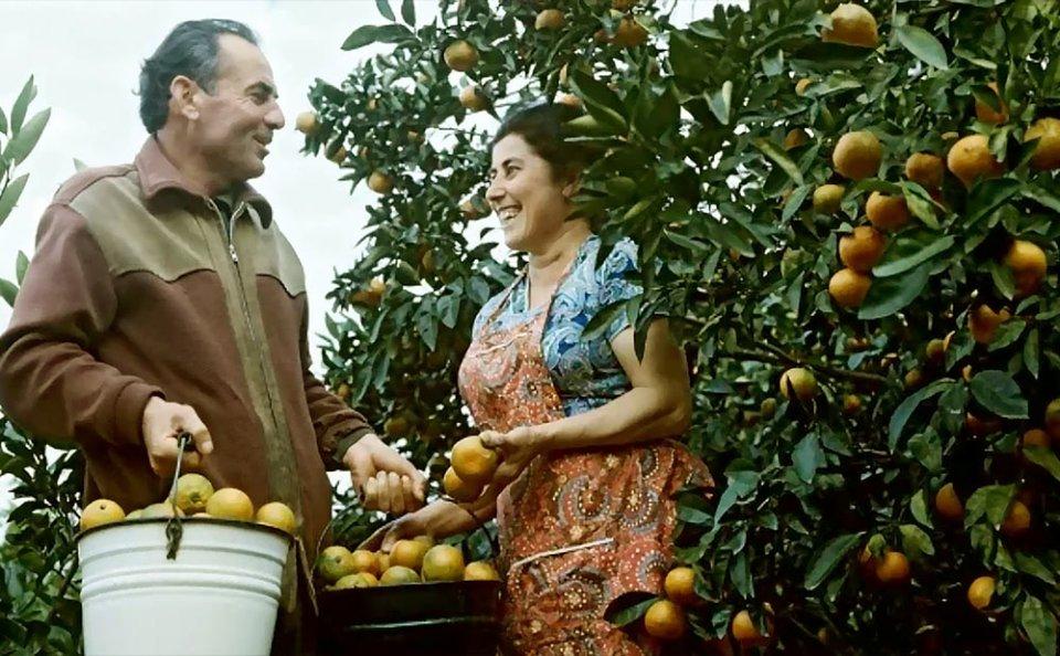 Збір врожаю мандаринів в Грузії